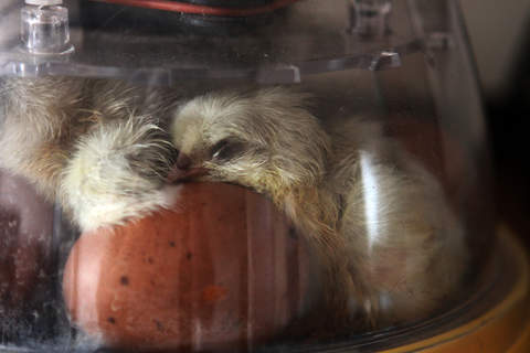 Newly hatched Spalsh Marans drying out in the incubator