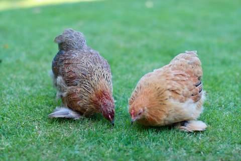 Henny & Penny the Pekin Pair.