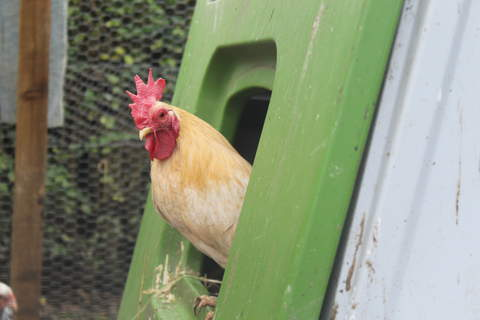 Pixie on look out from the nest box.