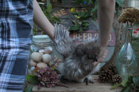A silkie after her moult in autumn