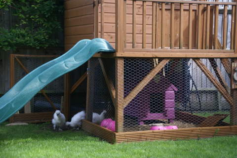 Our White Silkies exploring their New Home
