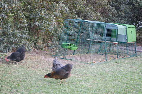 Les poulettes devant leur nouvelle maison