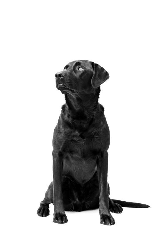 Labrador Retriever Dogs Breed Information Omlet