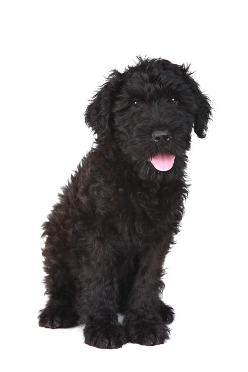 West Highland Yorkshire Terrier Cross Black Russian terrier ...