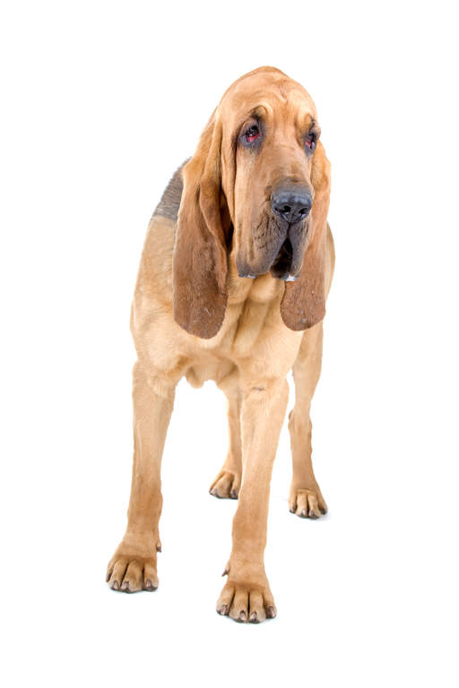 Dog-Bloodhound-A_young_adult_Bloodhound_with_a_lovely_short_coat.jpg