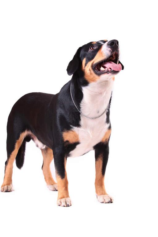 Entlebucher Mountain Dog Uk