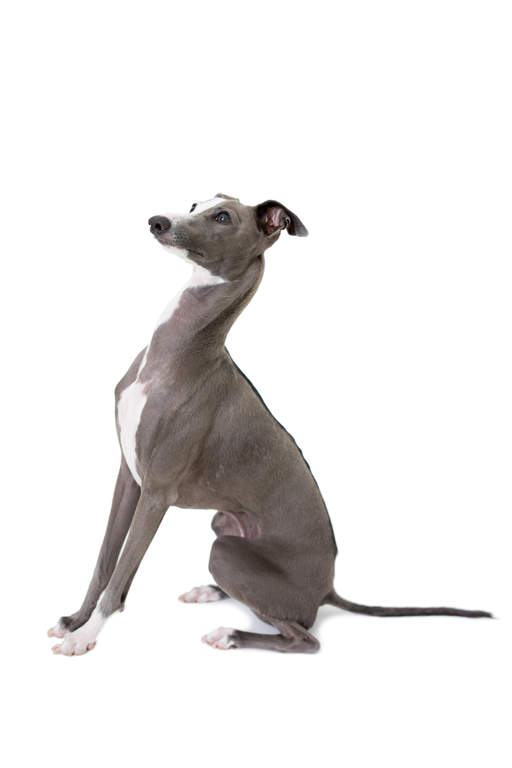 Small Grey Dog Breeds
