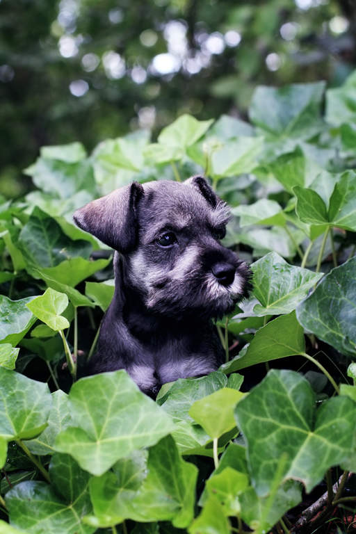 Miniature Schnauzer Dogs Breed Information Omlet