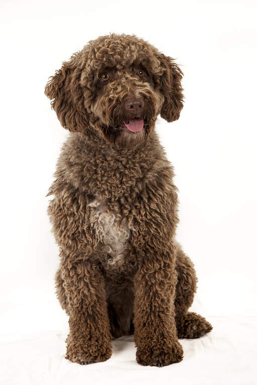 Spanish Water Dog Dogs Breed Information Omlet