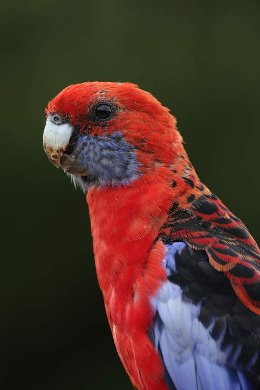 Crimson Rosella For Sa...