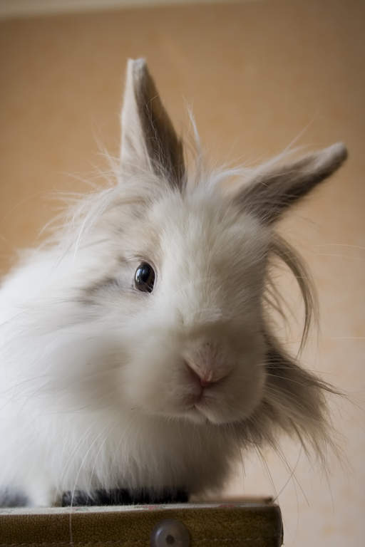 Lionhead For Sale Rabbits Breed Information Omlet