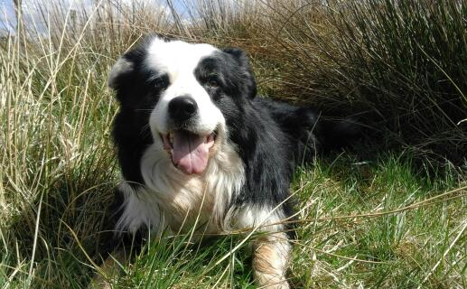 finnan the 7 year old working sheepdog