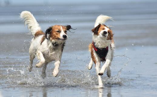 Running Kooikerhondjes