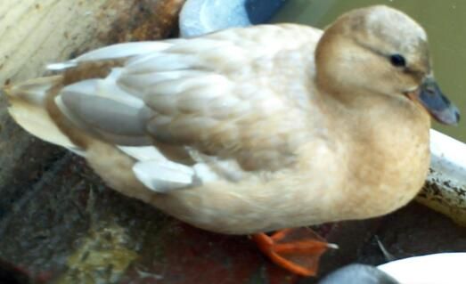 Apricot Female Call Duck