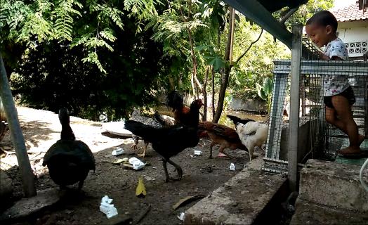Backyard Chicken