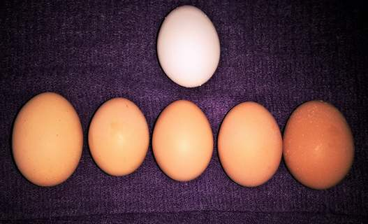 The 1st time all 6 hens laid