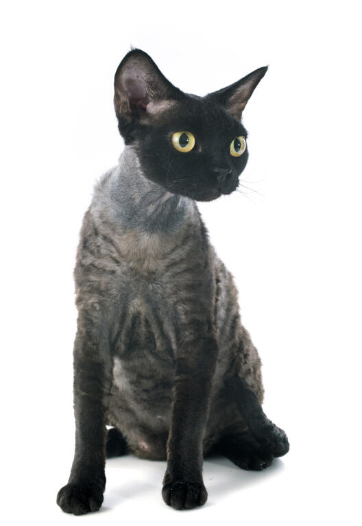 Black Shaggy Cat