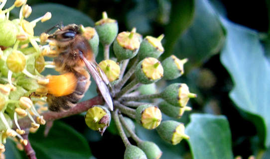 Close up of Bee on Ivy collecting pollen