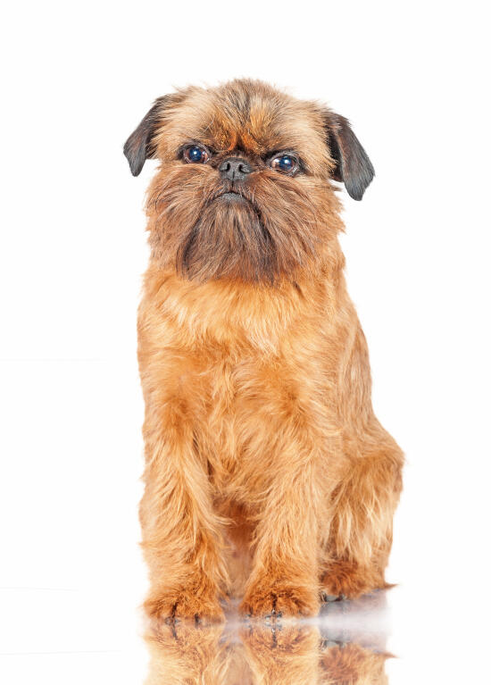 brussels griffon dogs breed information omlet