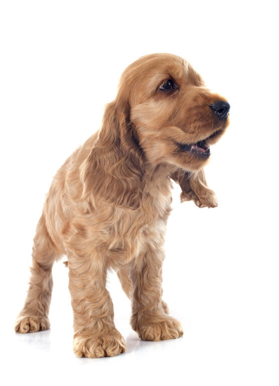 cocker spaniel origin cocker spaniel english dogs breed information omlet 1142