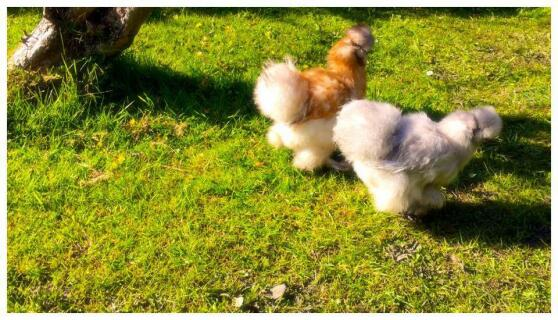 Our first hens. We love them !