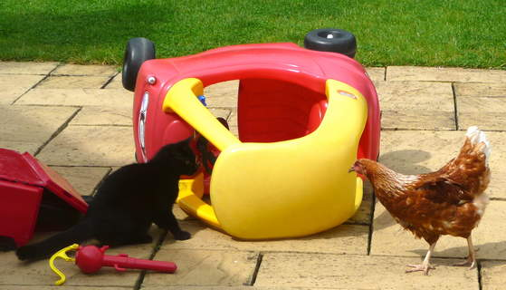 A lovely young black cat being introduced to an Omlet Gingernut Ranger hen
