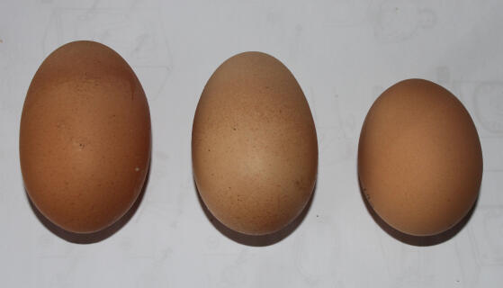 Varying sizes of eggs from 3 of my ex battery girls