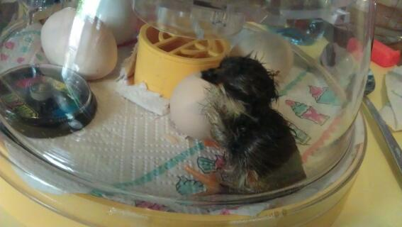Pekin chick