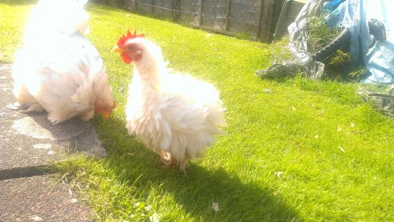 My Frizzle Serama X Pekin cockerel
