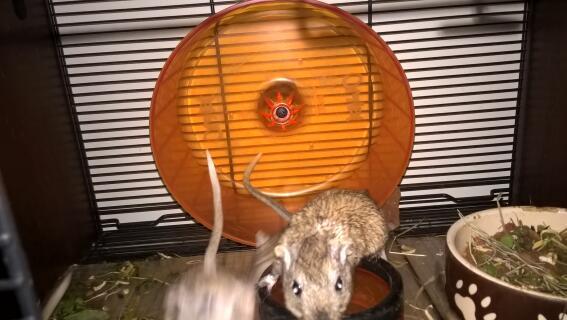 roue parfaite pour les gerbilles