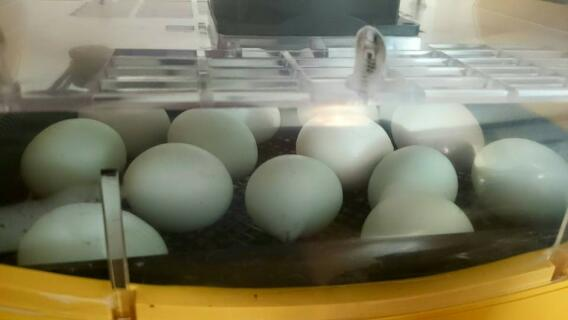 Blue Araucana eggs in the incubator