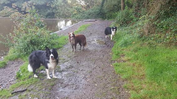 2 black and whites and a red and white border collie