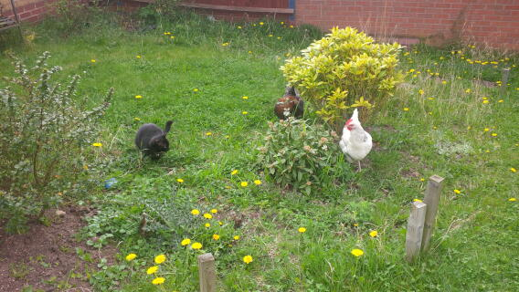 introducing our cat to the chickens. we still don't know who was most scared