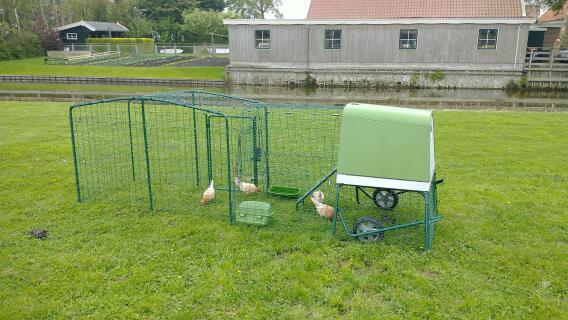Frisian chickens on pasture