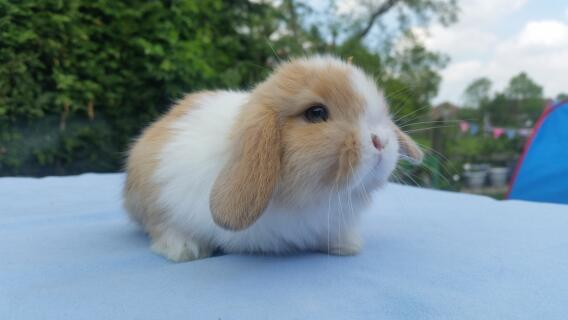 Split mini lop