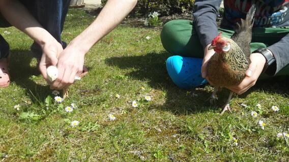 poussin et poule naine