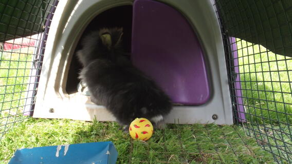 My Lionhead rabbit enjoying his new cage