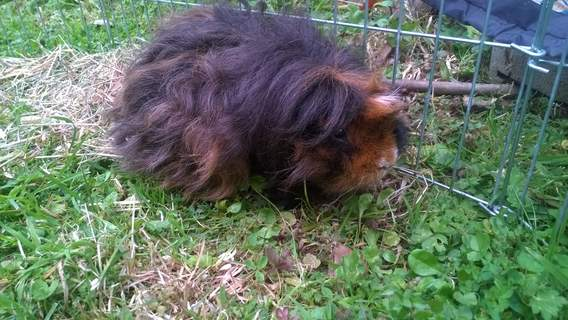 Max the Texel piggie before a haircut