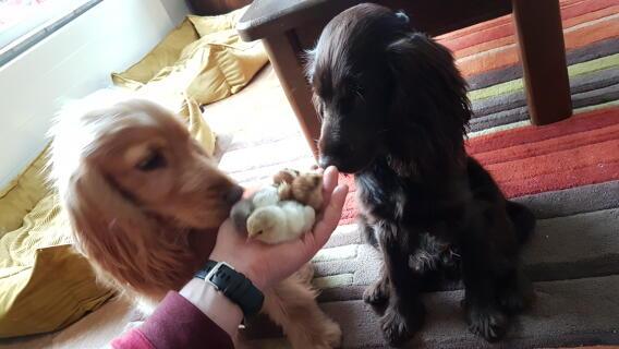 Honden en kuikens, zo leuk samen