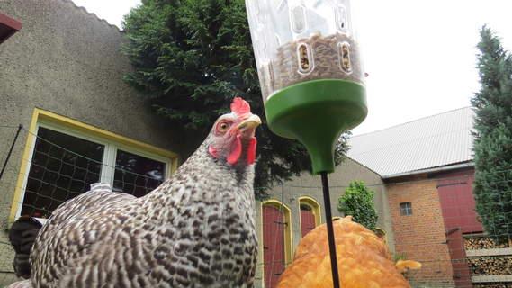 Die Hühner lieben es!