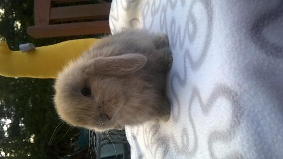 7 week old mini lop