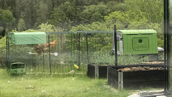 Hönorna testar pinnen för första gången