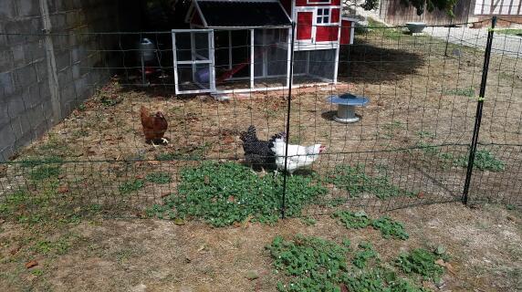 Grace au filet Omelt , mes poules evoluent en liberté