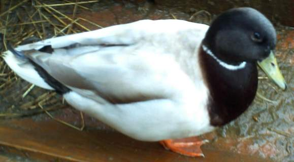 Apricot Call Duck Drake