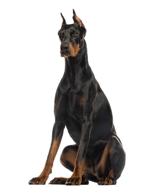 Doberman Guard Dogs Uk