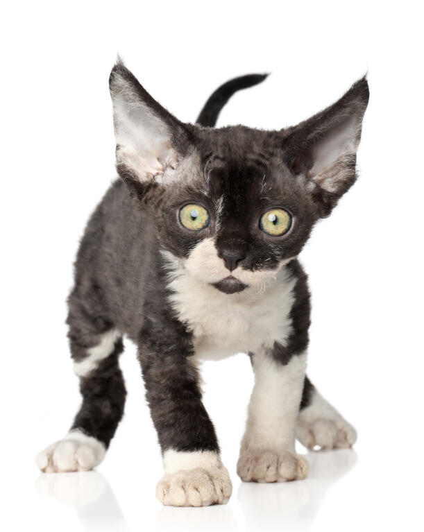 devon rex cats breed information omlet