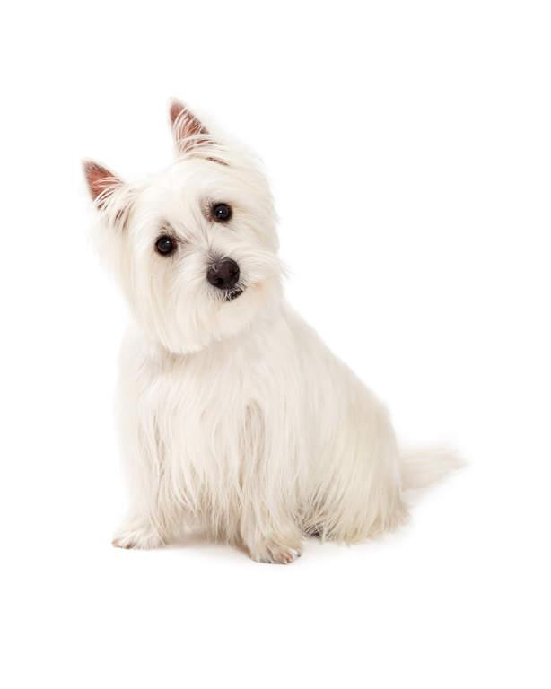 west highland terrier dogs breed information omlet