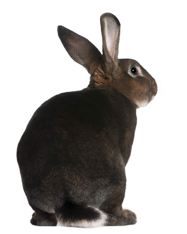 Giant Chinchilla Rabbit Rex For Sale | Rabbits...