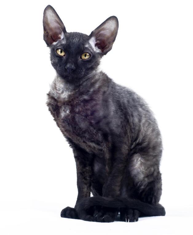 Cat Breeds Short Hair Black