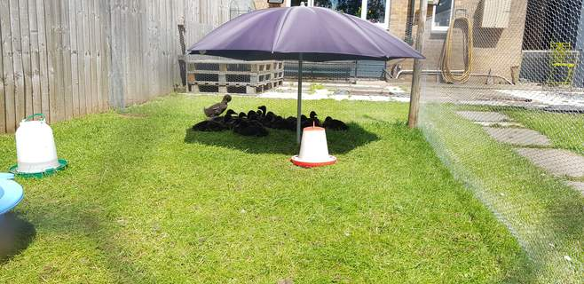 Cayuga ducks day care @ 6weeks - Breeder J.M Williams